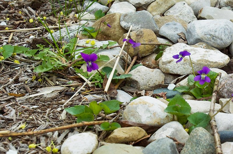 Rocks with violets