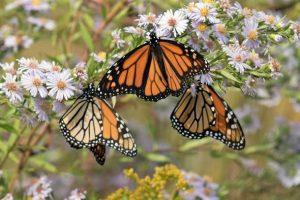 Monarch Butterfly, pollinator