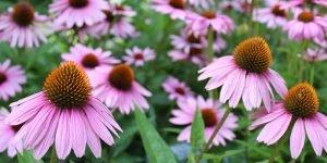 Cone Flowers, prairie