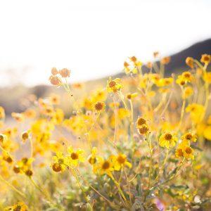 Yellow flowers, prairie