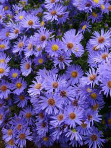 blue aster native plant