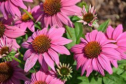 purple coneflower native plant