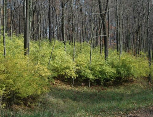 Invasive Plants: Assassins of the Woodlands